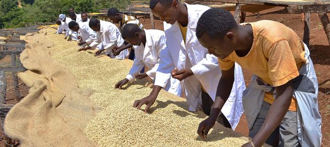 Handauslese bei Kaffeeproduzenten